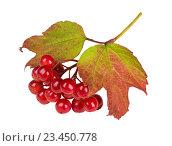 Купить «Красные ягоды калины на белом фоне изолировано», фото № 23450778, снято 25 августа 2016 г. (c) Наталья Волкова / Фотобанк Лори