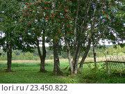 Деревья с гамаком в деревне, рябина, береза. Стоковое фото, фотограф Юлия Б / Фотобанк Лори