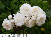 Купить «white rose bush», фото № 23451118, снято 6 августа 2020 г. (c) Яков Филимонов / Фотобанк Лори