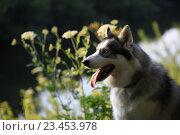 Купить «Собака породы хаски на природе», фото № 23453978, снято 13 июля 2016 г. (c) Яна Королёва / Фотобанк Лори