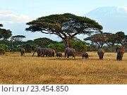 Купить «Слоны в африканской саванне, Кения», фото № 23454850, снято 5 января 2012 г. (c) Эдуард Кислинский / Фотобанк Лори