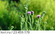 Купить «Цветок чертополоха на лугу в летний день», видеоролик № 23459178, снято 1 июля 2016 г. (c) Володина Ольга / Фотобанк Лори