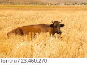 Тем но коричневая корова лежит в сухой траве. Стоковое фото, фотограф Emelinna / Фотобанк Лори