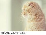 Купить «close up of scottish fold kitten», фото № 23461358, снято 19 июля 2015 г. (c) Syda Productions / Фотобанк Лори