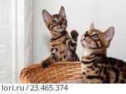 Купить «Бенгальские котята», фото № 23465374, снято 21 июля 2016 г. (c) Морозова Татьяна / Фотобанк Лори