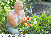 Купить «A man near the beds of pepper», фото № 23466534, снято 30 августа 2016 г. (c) Типляшина Евгения / Фотобанк Лори