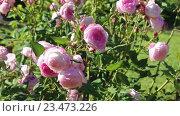 Купить «blossoming roses plant», видеоролик № 23473226, снято 13 мая 2016 г. (c) Яков Филимонов / Фотобанк Лори