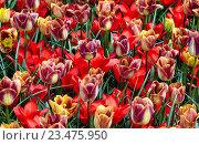 Красивые красные, желтые и фиолетовые тюльпаны. Стоковое фото, фотограф Сергей Прокопенко / Фотобанк Лори