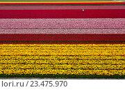 Человек на поле тюльпанов. Стоковое фото, фотограф Сергей Прокопенко / Фотобанк Лори