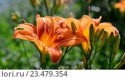 Купить «Красивые оранжевые лилии в саду», видеоролик № 23479354, снято 26 июня 2016 г. (c) Володина Ольга / Фотобанк Лори