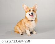 Собака породы вельш корги пемброк. Стоковое фото, фотограф Несветаев Евгений / Фотобанк Лори