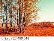 Купить «Осенний красочный пейзаж - небольшой березовый лес осенью в солнечную погоду. Живописный осенний вид», фото № 23489018, снято 5 мая 2016 г. (c) Зезелина Марина / Фотобанк Лори