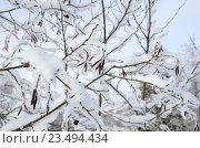 Купить «Серёжки ольхи зимой, зимний фон», эксклюзивное фото № 23494434, снято 24 января 2016 г. (c) Елена Коромыслова / Фотобанк Лори