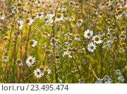 Ромашка аптечная (Matricaria chamomilla) Стоковое фото, фотограф Алёшина Оксана / Фотобанк Лори
