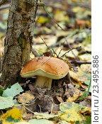 Купить «Белый гриб растёт прислонившись к стволу дерева», эксклюзивное фото № 23495886, снято 28 августа 2016 г. (c) Dmitry29 / Фотобанк Лори