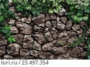 Листья плюща на каменной стене. Стоковое фото, фотограф Юрий Плющев / Фотобанк Лори