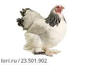 Курица. Стоковое фото, фотограф Дмитрий Янет / Фотобанк Лори