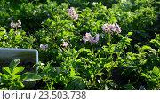 Купить «Женщина собирает колорадских жуков с картофеля», видеоролик № 23503738, снято 24 июня 2016 г. (c) Володина Ольга / Фотобанк Лори