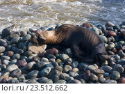 Купить «Тощий умирающей Южноамериканский морской лев лежит на побережье в Lima due to El Nino», фото № 23512662, снято 7 апреля 2016 г. (c) Михаил Кочиев / Фотобанк Лори