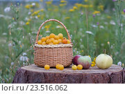 Яблоки и корзина алычи на пне на природе. Стоковое фото, фотограф Наталья Чумакова / Фотобанк Лори