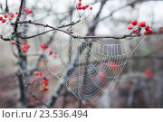Паутина. Стоковое фото, фотограф Георгий Солодко / Фотобанк Лори