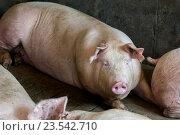 Свиньи в загоне на ферме. Стоковое фото, фотограф Mark Agnor / Фотобанк Лори