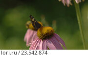 Buterfly on a Echinacea flower. Стоковое видео, видеограф Игорь Жоров / Фотобанк Лори