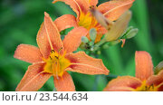 Купить «Красивые оранжевые лилии в каплях воды после дождя», видеоролик № 23544634, снято 12 июля 2016 г. (c) Володина Ольга / Фотобанк Лори