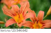 Купить «Красивые оранжевые лилии в каплях воды после дождя», видеоролик № 23544642, снято 12 июля 2016 г. (c) Володина Ольга / Фотобанк Лори