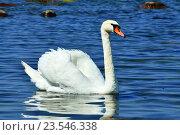 Купить «Белый лебедь-шипун (лат. Cygnus olor)», фото № 23546338, снято 1 июля 2016 г. (c) Сергей Трофименко / Фотобанк Лори