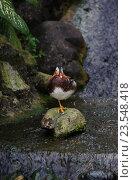 Купить «Утка мандаринка стоит на камне», фото № 23548418, снято 27 февраля 2020 г. (c) Olesya Tseytlin / Фотобанк Лори
