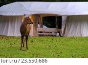 Олени и палатки для проживания гостей кемпинга Khao Kheaw es-ta-te Camping Resort в зоопарке в Таиланде (2016 год). Стоковое фото, фотограф Natalya Sidorova / Фотобанк Лори