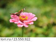 Купить «Бабочка на цветке», эксклюзивное фото № 23550922, снято 10 сентября 2016 г. (c) Юрий Морозов / Фотобанк Лори