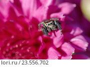 Купить «Паук-скакун (лат. Salticidae) не цветке хризантемы», эксклюзивное фото № 23556702, снято 10 июля 2016 г. (c) Елена Коромыслова / Фотобанк Лори