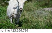 Купить «Белая коза на поводке, ест траву», видеоролик № 23556786, снято 6 августа 2016 г. (c) Володина Ольга / Фотобанк Лори