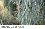 Купить «Ветви плакучей ивой крупным планом», видеоролик № 23557538, снято 10 августа 2016 г. (c) Володина Ольга / Фотобанк Лори