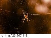 Купить «Лесной  паук сидит среди паутины освещённый солнцем», эксклюзивное фото № 23567118, снято 13 августа 2016 г. (c) Игорь Низов / Фотобанк Лори