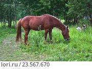 Купить «Пасущаяся лошадь», эксклюзивное фото № 23567670, снято 15 июля 2016 г. (c) Алёшина Оксана / Фотобанк Лори