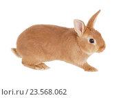 Купить «Карликовый кролик, изолировано на белом фоне», фото № 23568062, снято 9 апреля 2016 г. (c) Игорь Долгов / Фотобанк Лори