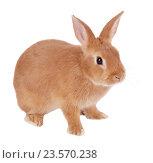 Купить «Карликовый кролик, изолировано на белом фоне», фото № 23570238, снято 9 апреля 2016 г. (c) Игорь Долгов / Фотобанк Лори