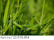 Роса на траве. Стоковое фото, фотограф Галина Щурова / Фотобанк Лори