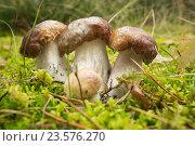 Купить «Три белых гриба среди мха», фото № 23576270, снято 16 сентября 2016 г. (c) Александр Романов / Фотобанк Лори