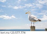 Купить «seagull over sea and blue sky», фото № 23577774, снято 25 июня 2016 г. (c) Syda Productions / Фотобанк Лори