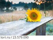 Подсолнух. Стоковое фото, фотограф Дмитрий Голуб / Фотобанк Лори