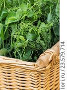Купить «close up of pea or bean seedling in wicker basket», фото № 23579714, снято 11 июня 2016 г. (c) Syda Productions / Фотобанк Лори