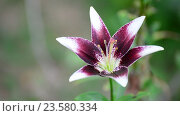 Купить «Flowers white and purple lily in garden», видеоролик № 23580334, снято 5 июля 2016 г. (c) Володина Ольга / Фотобанк Лори