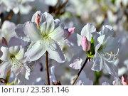 Купить «Цветы рододендрона крупным планом», фото № 23581146, снято 3 мая 2015 г. (c) Сергей Трофименко / Фотобанк Лори