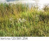 Ромашка аптечная (Matricaria chamomilla) на берегу. Стоковое фото, фотограф Алёшина Оксана / Фотобанк Лори