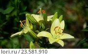 Купить «Yellow varietal large lily in flowerbed», видеоролик № 23581910, снято 5 июля 2016 г. (c) Володина Ольга / Фотобанк Лори