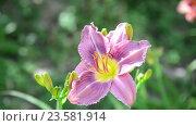 Купить «Light purple daylily in garden», видеоролик № 23581914, снято 5 июля 2016 г. (c) Володина Ольга / Фотобанк Лори